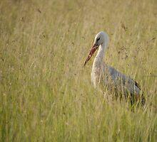 White Stork by António Jorge Nunes