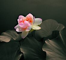 Backlit Lotus by Jessica Jenney
