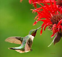 Hummingbird with Red Flower by Christina Rollo