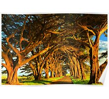 Cypress Tunnel Sunset Glow Poster