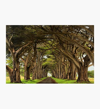 Point Reyes Cypress Tunnel Photographic Print