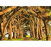 Cypress Lined Road Photographic Print