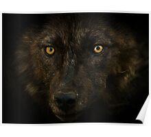 Midnights Gaze - Black Wolf Wild Animal Wildlife Poster