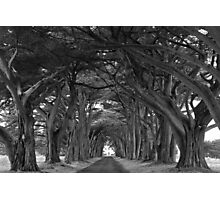 Point Reyes Black And White Cypress Tunnel Photographic Print