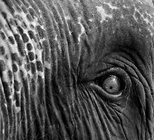 Close-up shot of Asian elephant eye by Stanciuc