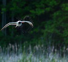 Caspian Terns Hunt by ZNature
