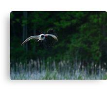Caspian Terns Hunt Canvas Print