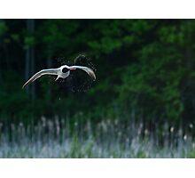Caspian Terns Hunt Photographic Print