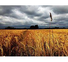 Nodding heads of barley Photographic Print