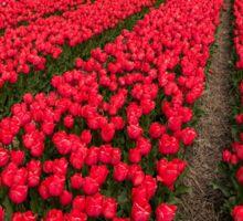 Tulip fields in springtime Sticker