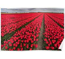 Tulip fields in springtime Poster