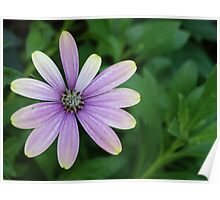 Purple Daisy Flower With A Hint Of Yellow Poster
