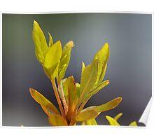 Azalea Leaves Poster