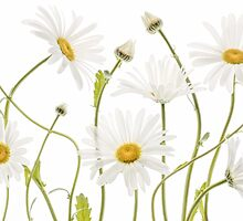 Ox eye Daisies by Mandy Disher