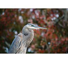 Blue heron in autumn Photographic Print