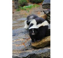 Curious Skunk Photographic Print