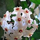 Hoya Plant In Bloom by Diane Arndt