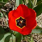 One red Tulip by Margaret  Hyde