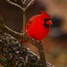 Portrait of a Redbird by Mary Carol Story