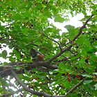The Robin in the Mulberry tree by MarianBendeth