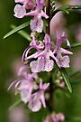 Rosemary Blooms by Tiffany Dryburgh