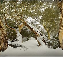 Eucalypts in snow, Mt. Buffalo by Kevin McGennan
