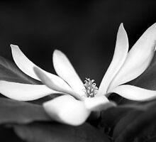 Star Magnolia by Tiffany Dryburgh