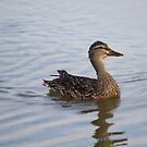 Female Duck  by mercale