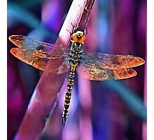 Dragonfly In Orange and Blue Photographic Print