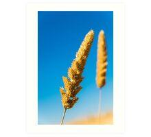 Golden grass on the Golden Plains Art Print