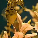 Seahorse by Diego Re