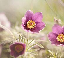 Common Pasque by Catherine Hamilton-Veal  ©