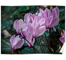 Soft Pink Cyclamens Poster