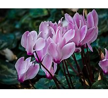 Soft Pink Cyclamens Photographic Print
