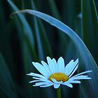 Daisy among the Iris leaves by Laurie Minor