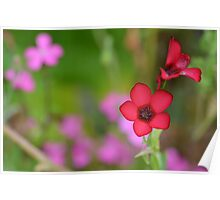 Red flower product design Poster