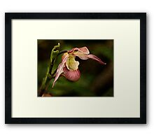 Pink lady's slipper orchid Framed Print