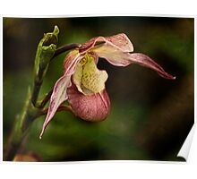 Pink lady's slipper orchid Poster