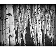 Silver Birch Trees Photographic Print