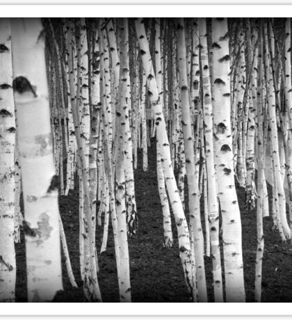 Silver Birch Trees Sticker