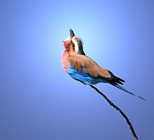 Lilac-breasted Roller - Blue Bird Background from Africa by LivingWild