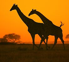 Giraffe Golden Run - African Wildlife Background by LivingWild