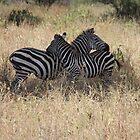 Zebras, Tanzania by miaastewart
