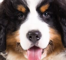 bernese mountain dog puppy Sticker
