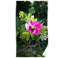 Pink Rose with a Bee Poster
