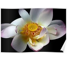 Lotus Petals Poster