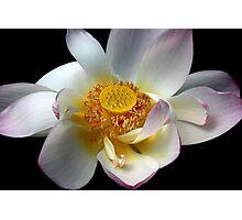 Lotus Petals Photographic Print