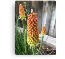Orange and Yellow Kniphofia (Hot Poker Flower) Canvas Print