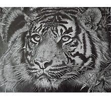 Bengal Tiger Pencil Drawing Photographic Print
