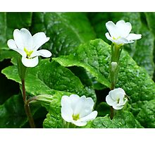 Pretty white flowers with rain covered leaves Photographic Print